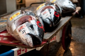 Blufin tuna is among the most demanded food fish worldwide, making it also one of the most endangered species of our oceans. Large quantities of bluefin tuna go to Japan for example, where it serves for sushi - Copyright: Dennis Tang