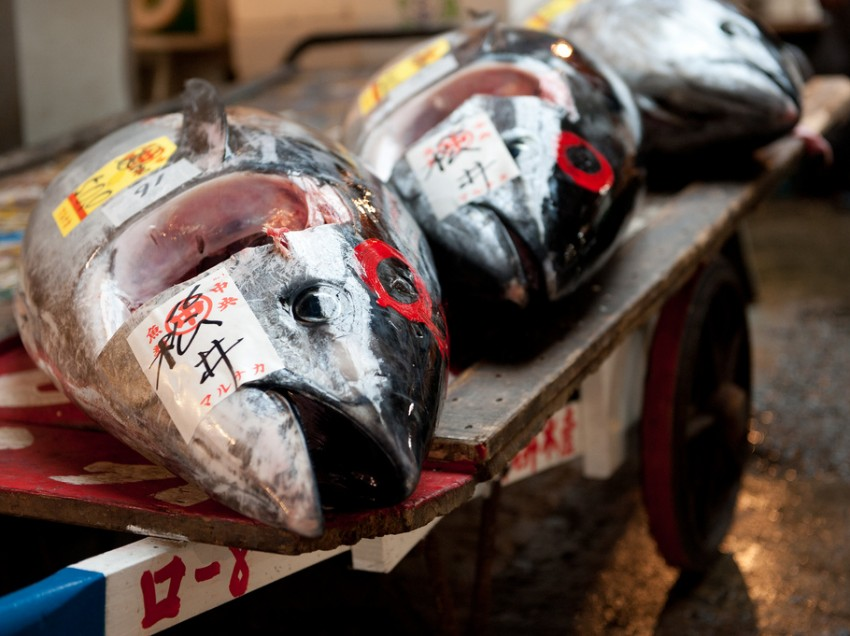 Bluefin tuna fishery and the war in Libya