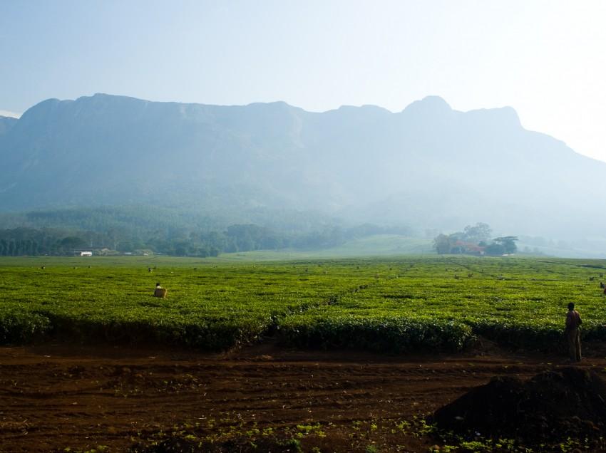 Malawi: Gute Ernteerträge für 2012 in Teesektor prognostiziert