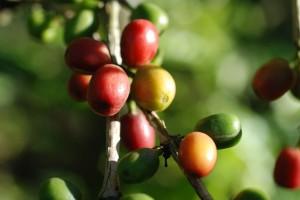 Kaffee entwickelte sich bald zu einem der lukrativsten Erzeugnisse. Die starken Preisschwankungen auf dem Weltmarkt machten den Anbau jedoch für viele zum Risiko - Copyright: advencap