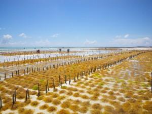 Seit kurzem hat sich an den Küsten der Anbau von Seegras zum Export nach Asien etabliert. Obwohl Seegras in vielen asiatischen Ländern als Delikatesse gilt, profitiert nur ein kleiner Teil der tansanischen Bevölkerung von den neuen Märkten - Copyright: eufrika.org