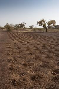 Hirse gehört wie hier in Mali zu den am weitesten verbreiteten Anbausorten der Region. Das Foto zeigt eine neu eingeführte Methode, bei der flache Löcher helfen sollen, dem Boden nach der Ernte mehr Wasser und Nährstoffe zuzuführen. © TREEAID