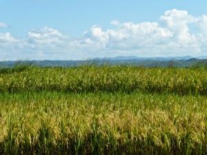 Die Reisfelder in Keyla decken nicht annähernd den Bedarf. Bis heute Tansania auf den Import von Grundnahrungsmitteln angewiesen - Copyright: IRRI Images