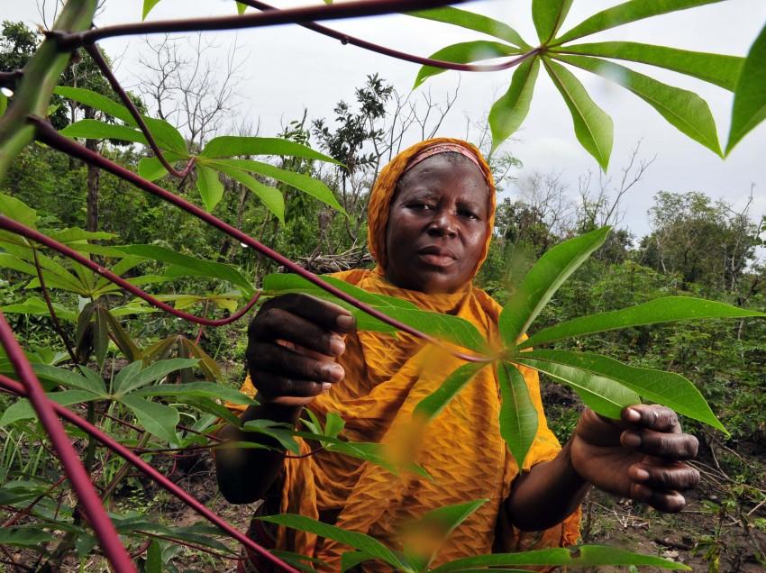 Tolle Knolle: Mit Maniok für den Klimawandel gewappnet