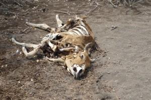 Bei den Vertreibungen von 2009 fielen mindestens 60.000 Rinder der Maasai einer schweren Dürre zum Opfer. © Hannes Lindenberg