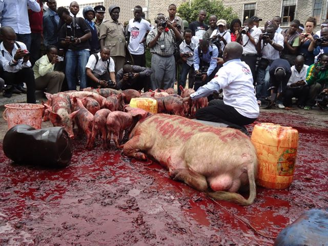 Protesters released pigs outside the Kenya parliament. © Samora Asere