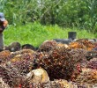 UK Palm Oil Company Accused of Illegally Displacing Liberian Villages – SDI