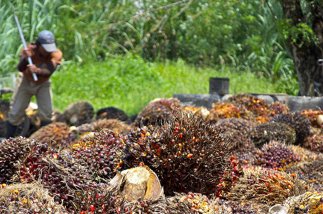 Palm Oil Fruit Harvest © Craig Morey